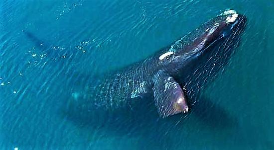 veličastni sinji kit v argentinskem morju