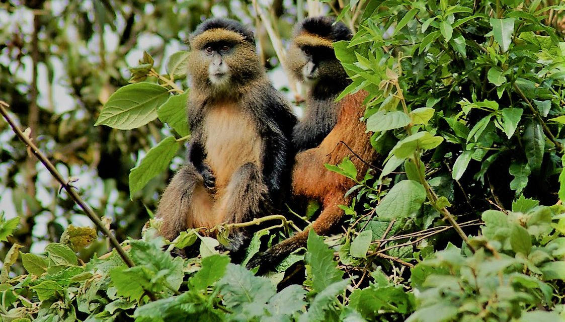 https://vard.si/wp-content/uploads/2020/04/VARD_AFRIKA_UGANDA_GOLDEN_MONKEYS-1123x640.jpg